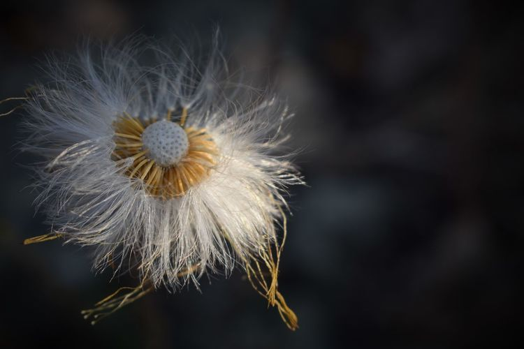 Extreme close-up of dandelion flower