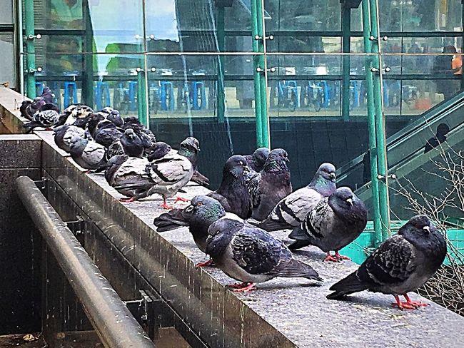 Pigeons Birds Wildlife Wildlife In The City