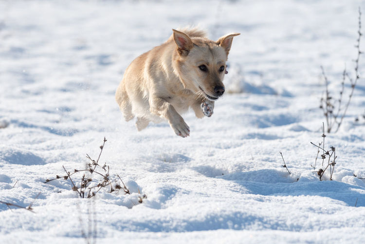 Cute dog running in the snow Dog Pets Animal Running Outdoors One Animal Motion Domestic Animals Winter Snow Playing Cold Temperature No People Jumping Mammal Young Animal