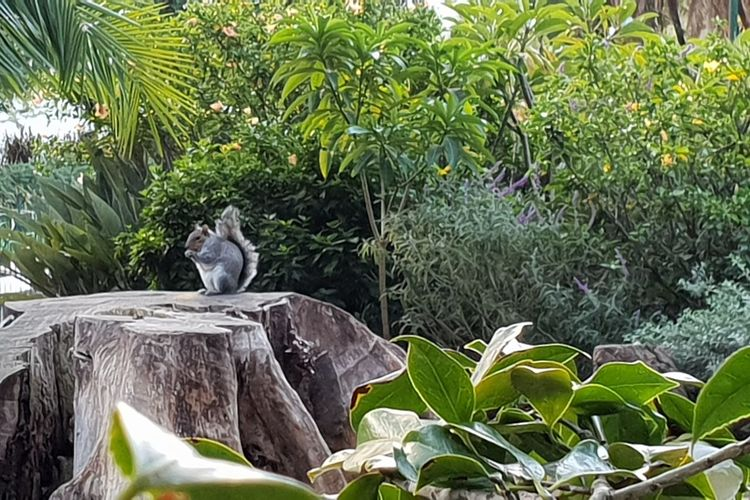 Jittery, yet quite approachable squirrels in The Gardens Squirrel Eating Squirrel Photography Squirrel Cape Town, South Africa Exploring New Ground Check This Out 😊 From Where I Stand From My Point Of View Tree Leaf Close-up Animal Themes Grass Plant Green Color Tree Stump