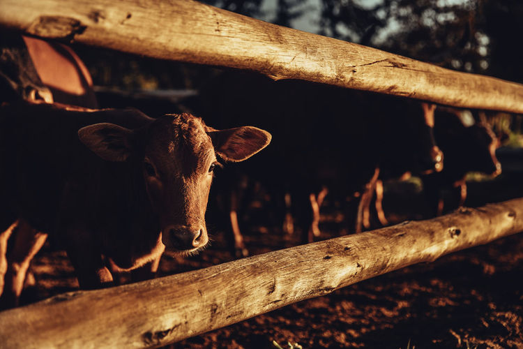 Close-up of calf by fence