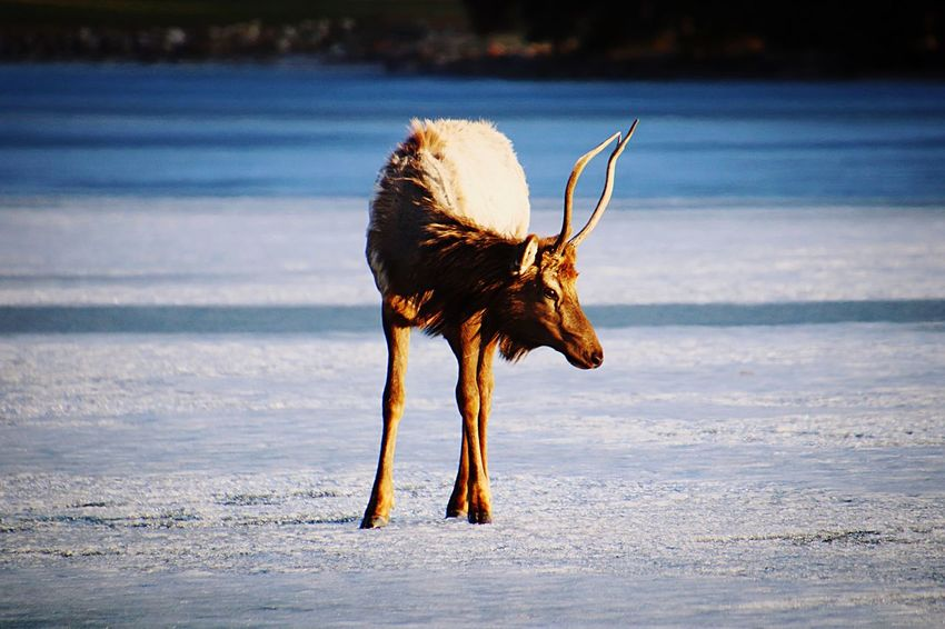 An elk attempts to cross a frozen lake! Elk Lake Wildlife Photography Canadian Rockies  EyeEm Selects Animal Animal Themes One Animal Animal Wildlife Mammal Animals In The Wild Deer Herbivorous Environment Snow Horned Landscape Nature No People The Great Outdoors - 2018 EyeEm Awards