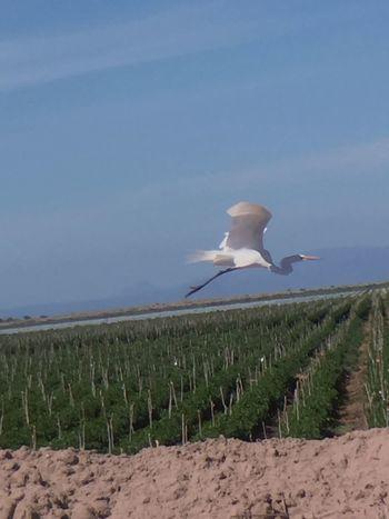 Grey heron flying thru our field Chuylui Photography