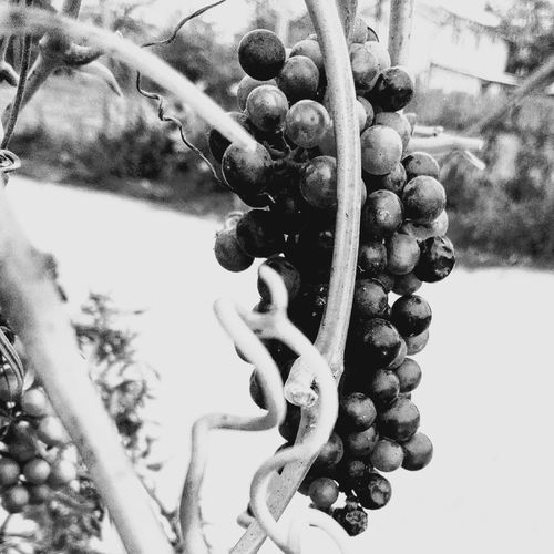 Black And White Grapes Low Angle View Close-up Grapes Black & White Black And White Black&white B&w No People No Person No Human WOLFZUACHiV Photography Huawei Photography On Market Wolfzuachiv WOLFZUACHiV Photos Veronica Ionita Ionita Veronica Eyeem Market Huaweiphotography Multi Colored Perspectives On Nature