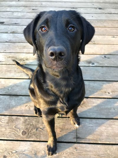 Dog Pets Domestic Animals Looking At Camera Animal Themes Mammal Portrait Black Color One Animal Wood - Material Black Labrador Labrador Retriever Outdoors No People Day Puppy Puppy Eyes Flatcoated Retriever Lights Sunlight Flat Coated Retriever Puppy Face Black Labrador