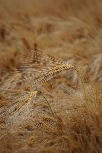 Close-up of stalks in wheat field