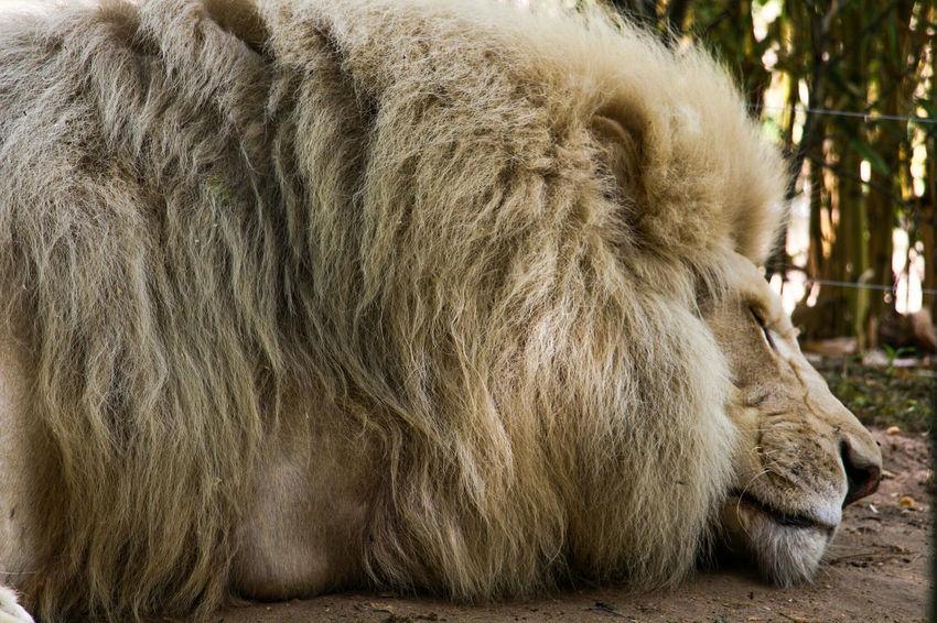 The king is sleeping at Zoo De La Flèche France Animal Themes One Animal Mammal No People Close-up Fresh On Eyeem  3XSPUnity Zoo Lion - Feline Lion King  Animals