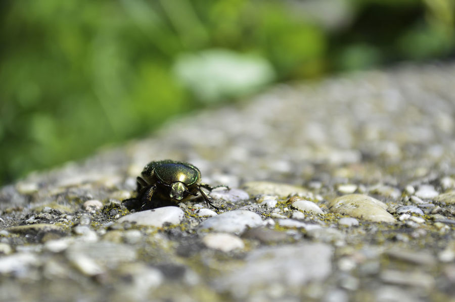 A close-up shot of a scarab beetle on a garden wall in Vienna, Austria. Scarab Vienna Vienna, Austria Animal Themes Animal Wildlife Animals In The Wild Close-up Day Garden Wall Golden Beetle Green Beetle Macro Beetle Nature No People One Animal Outdoors Selective Focus