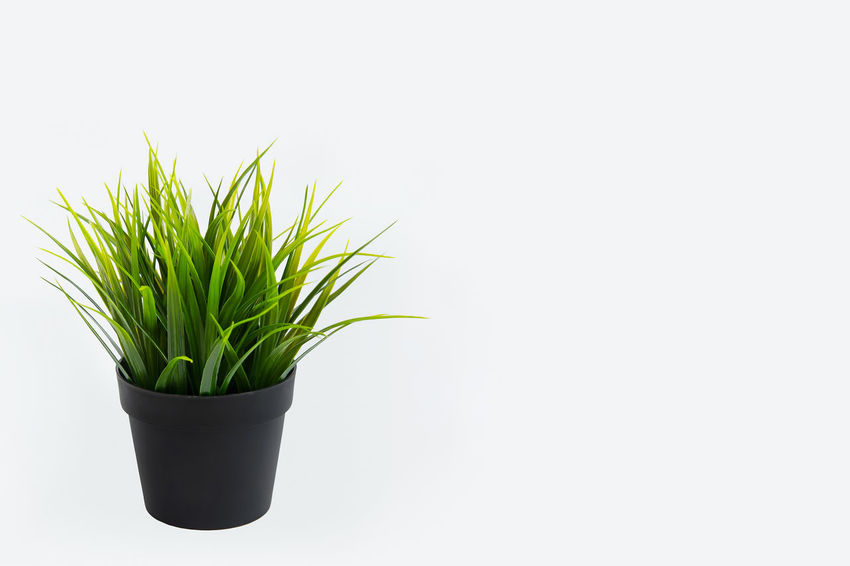 Decorative grass in flowerpot. Isolated on white background Agriculture Gardening Grass Green Color Isolated Backgrounds Beauty In Nature Botany Close-up Day Decoration Enviroment Flowerpot Freshness Grass Area Green Color Growth Houseplant Interior Design Nature No People Plant Potted Plant Studio Shot White Background