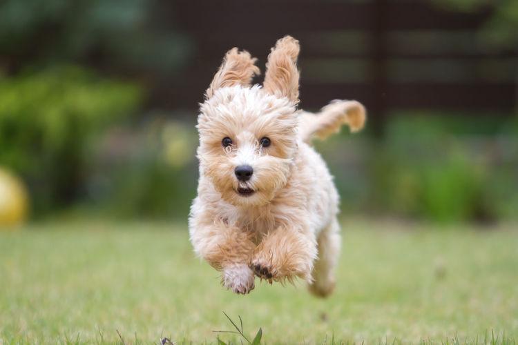 Portrait Of Cute Puppy Running On Grassy Field
