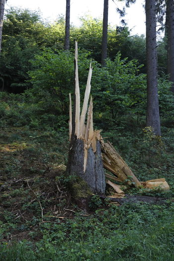 Lightning Strikes Split Tranquility Tree Tree Trunk Branch Day Forest Forest Photography Forestwalk Growth Nature No People Outdoors Plant Slivered Tranquil Scene Tranquility Tree