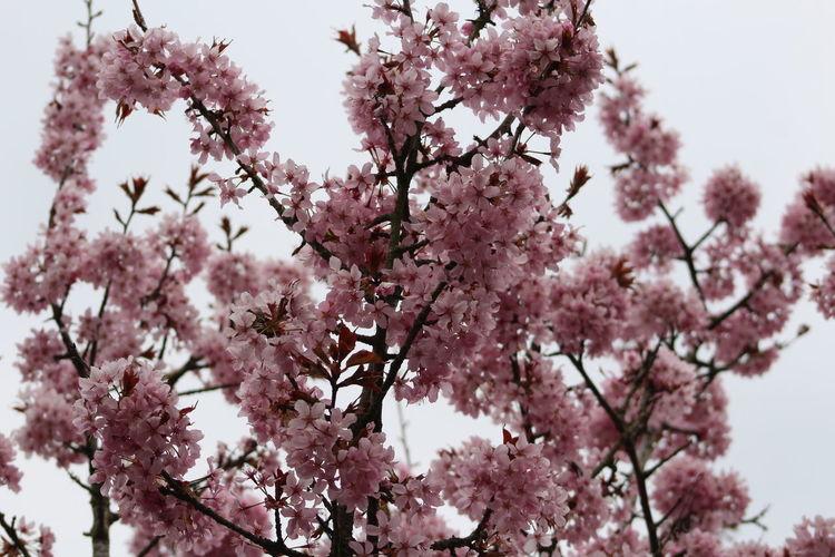 Plant Tree Pink