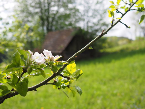 Backgrounds Beauty In Nature Blooming Blossom Branch Close-up Day Flower Flower Head Focus On Foreground Fragility Freshness Green Color Growth Leaf Nature No People Outdoors Petal Plant Springtime Styria Tree Wallpaper