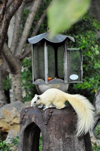 Squirrel White