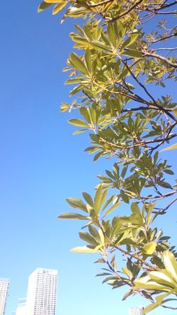 Blue Clear Sky Sky Outdoors No People Low Angle View Yellow Tree Day Close-up Architecture Freshness Leaves Beauty In Nature Tokyo,Japan Toyosu
