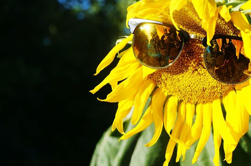 Close-Up Of Sunglasses On Sunflower