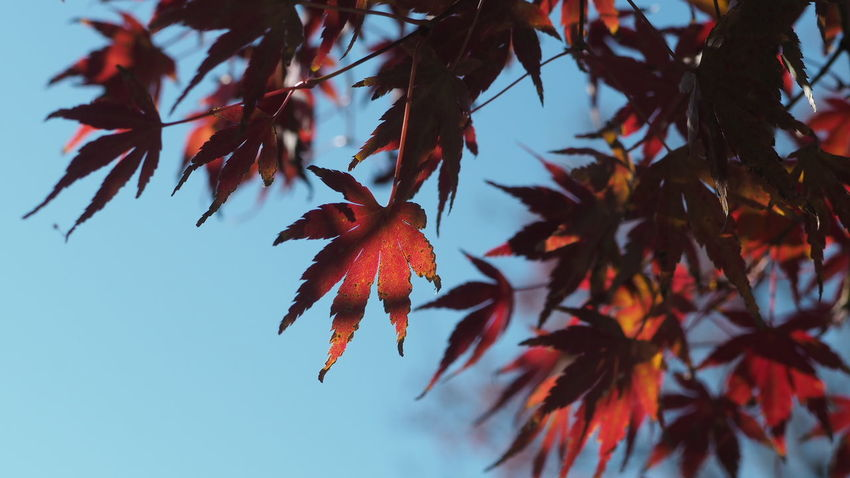 EyeEm Selects Autumn Leaves Autumn Maple Leaf Red Leaves Maple Tree Red Change Tree Plant Leaf Close-up Japan Red And Black Colour Red And Black