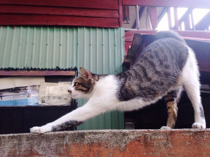 Lazy little cat Thai Street Cat Lazy Morning On The Wall Streching White With Mark Standing On Wall Bangbumru Bangkok Thai Cat