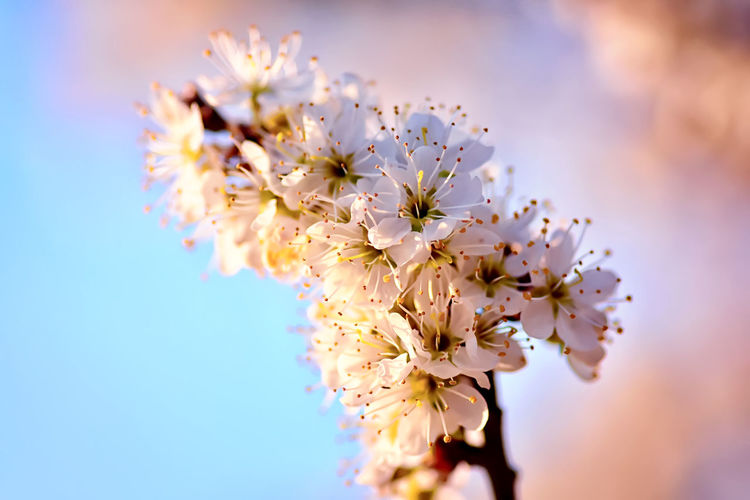Flowering Plant Flower Fragility Freshness Vulnerability  Beauty In Nature Close-up Blossom Tree Springtime Branch No People Focus On Foreground Selective Focus Cherry Blossom Pollen Bunch Of Flowers Cherry Tree Petal Nature Plant Growth Flower Head Sky Outdoors