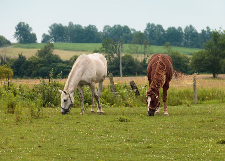 Horses Animals Horse Photography  Horse Photography  Field Horse Brown Horse Animal Photography Animal Portrait Animal Themes Greenery White Horse