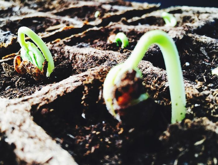 Nature Growth Plant Day No People Close-up Soil New Life Fragility Macro Photography Macro_collection Bean Garden Bean Sprouts