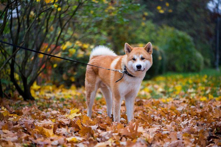 Akita inu dog in autumn leaves