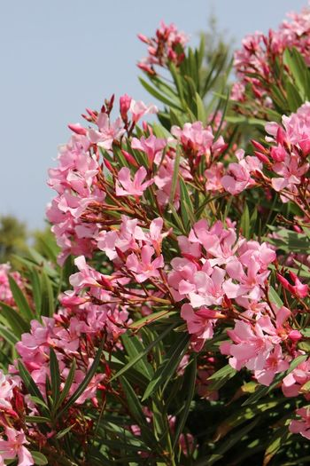 Oleander Oleander Flowers EyeEm Best Shots EyeEm Gallery Eyemphotography Maltaphotography Mediterranean  Malta Flower Pink Color Blossom Plant Springtime Nature No People Beauty In Nature Outdoors Flower Head Fragility Day Freshness Close-up Sky Growth