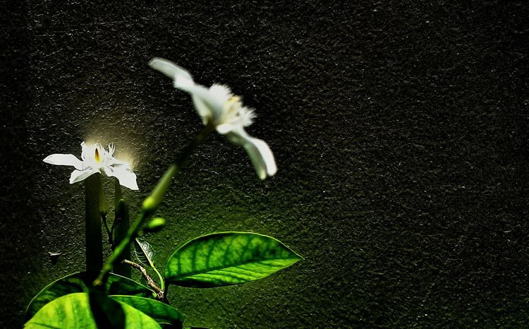 White angel flower Flower White Angel Flower White Flowers Nature Outdoors Plant Leaf Green Color Day Beauty In Nature Freshness Close-up Adapted To The City