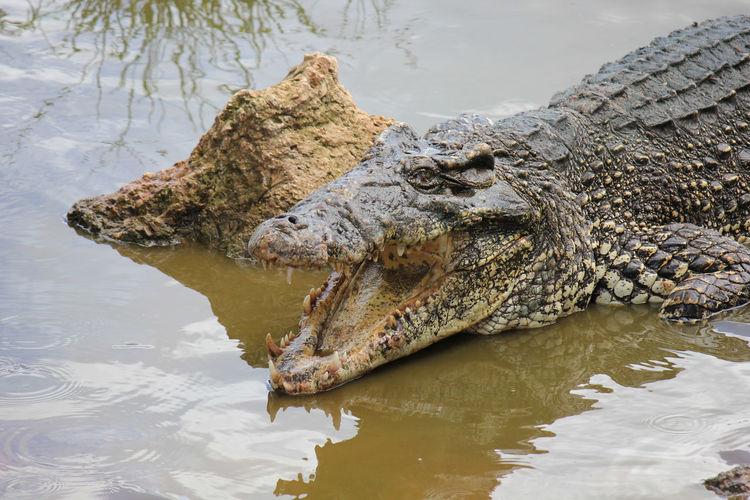 Crocodile in Cuba Alligator Crocodylus Cuba Dangerous Animals Marsh Amphibian Animal Animal Themes Animals In The Wild Carnivore Crocodile Lagoon Mouth Open Nature No People One Animal Open Mouth Outdoors Predator Reptile