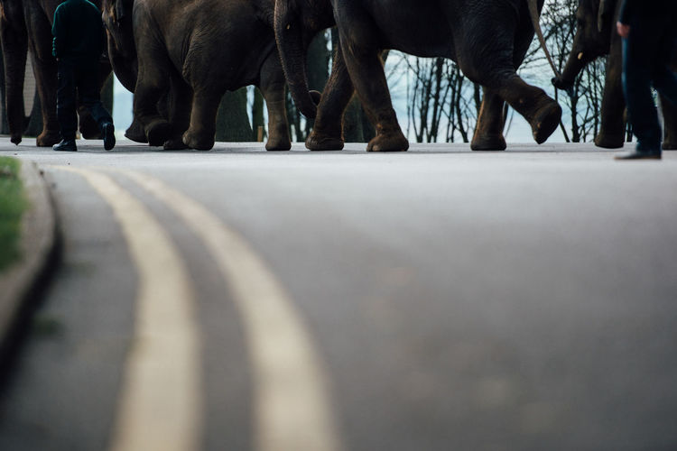 Low section of elephants walking in row along zoo keeper