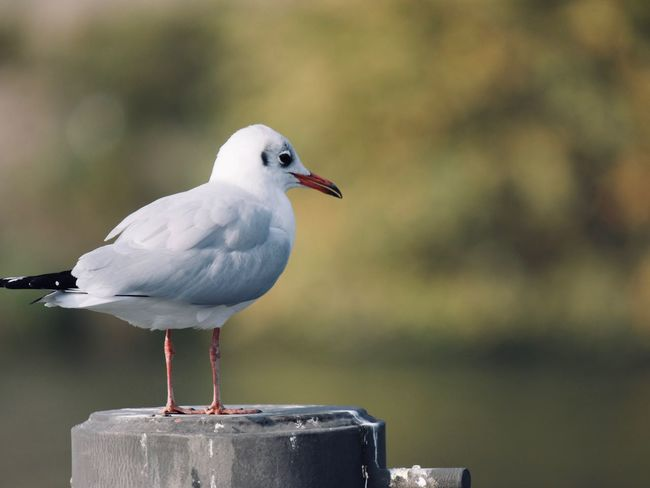 Bird Vertebrate Animal Themes Animal Wildlife Animal Focus On Foreground Animals In The Wild One Animal Perching Day No People Close-up Seagull Nature Outdoors Water Post Wooden Post Side View Beak