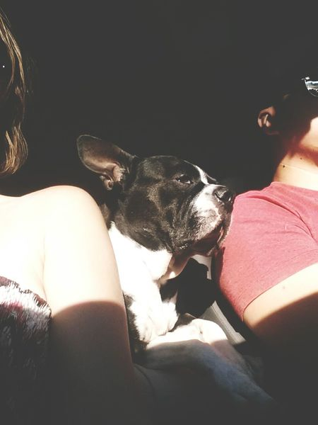 Summer Dogs Travellingwithmylove Road Trip Boston Terrier EyeEm Animal Lover Light And Shadow Dog Love meet Marty Traveler Travel Time!!! summer, sunshine and car rides are this guys happy place. Travel TakeoverContrast Pet Portraits