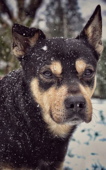 #Dogsnowday ❤❄❄❤ Dog One Animal Pets Mammal Animal Themes No People Portrait