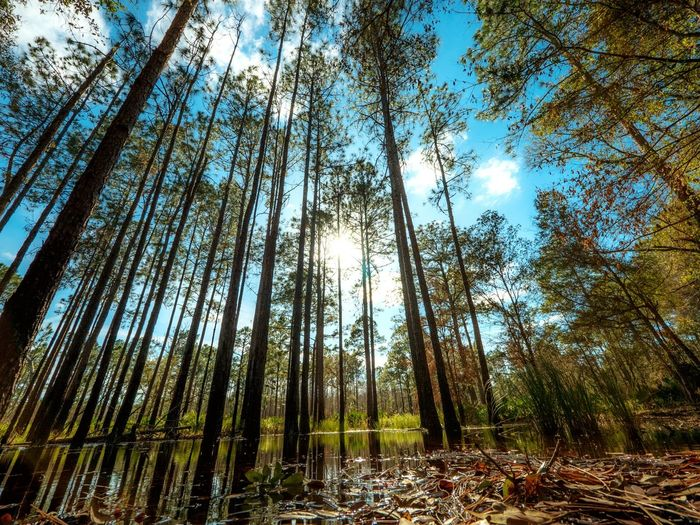 Showcase: February Nature Trees Swamp Cypress Trees  Cypress Groundwater Naturalresources Leading Lines Sun Awe Peaceful Meditation Towering Water Greenspace Pine Sustainable Ecosystem  Diversity Landscapes With WhiteWall The Great Outdoors With Adobe The Great Outdoors - 2016 EyeEm Awards
