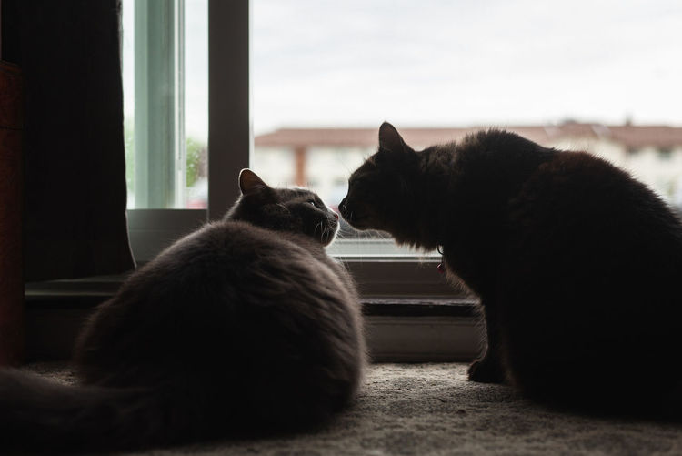 Two cats touching noses.