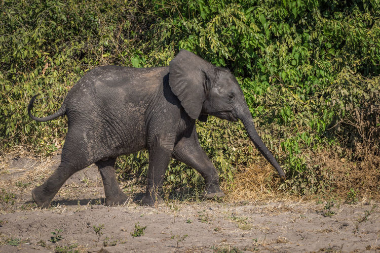 Side view of elephant calf walking in forest
