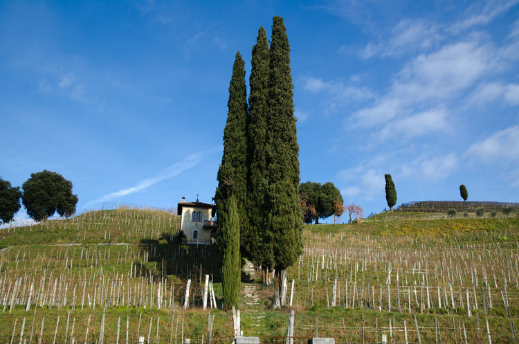 Wineyard with Cypress trees in Ticino, Switzerland. Agriculture Architecture Beauty In Nature Built Structure Business Cloud Cypress Cypress Trees  Day Field Growth Hill Landscape Mountain Nature No People Outdoors Rural Scene Sky Blue Sunny Tranquility Travel Destinations Tree Wine Wineyard