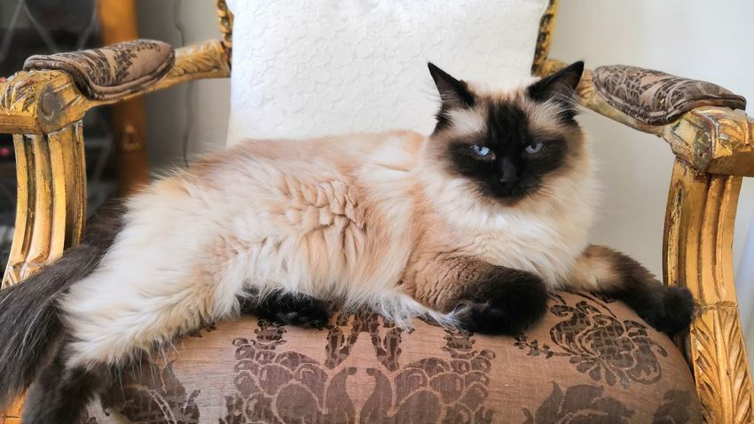 Hayley Ragdoll Honor 10 Pets Feline Domestic Cat Home Interior Dog Animal Themes Close-up Kitten Whisker Cat Young Animal At Home
