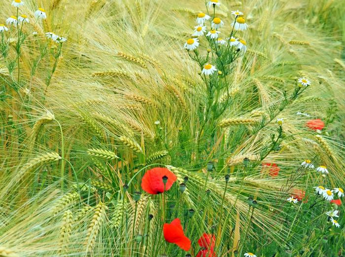 Barley Field Camille Cereal Plant Close-up Ernte Erntezeit Flower Flower Head Gerste Gerstenfeld Getreidefeld💫 Grass Green Color Harvest Mohn Nature Outdoors Poppy Flowers Wheal
