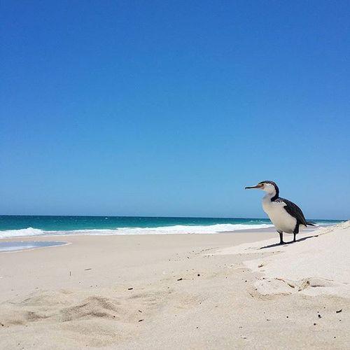 Thank you, dear bird, that you did me a favour and allowed to take a photo of you so close. 🙏 Perth WesternAustralia Seeaustralia Perthlife Perthisok Cottesloebeach Wildlifeofaustralia Cottesloe Bird Wildlifeofperth Chemodiver