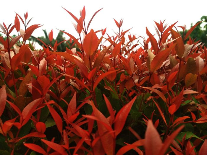 Red Plants And