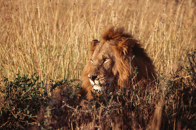 Close-up of sunset-lit male lion resting in grass.