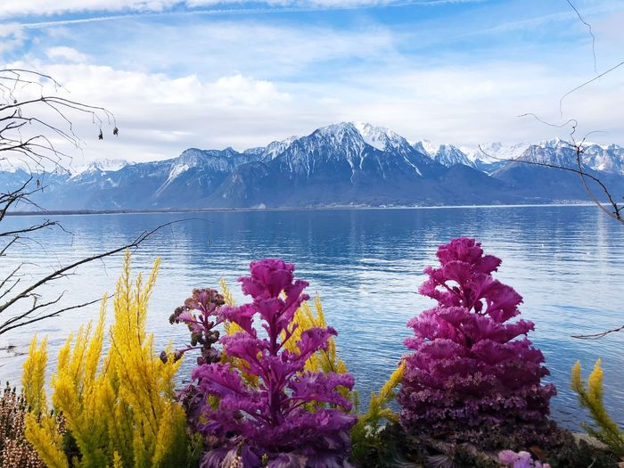 Close-up of flowers by lake against snowcapped mountains