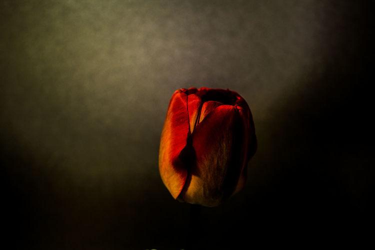 Tulip Black