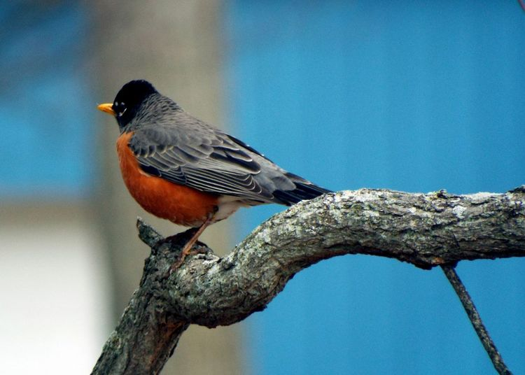 Nature Trees Bird Bird On A Branch Check It Out American Robin Robin Shades Of Blue