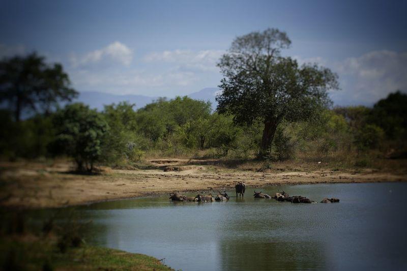 wasserloch wasserbüffel sri lanka Tree Water Nature Landscape Reflection Sky No People Day Swamp Animals In The Wild Sri Lanka Travel Animal Themes Animals In The Wild