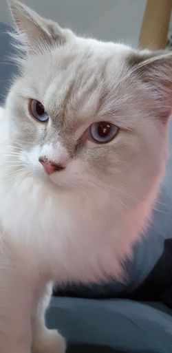 House Cats Pets Portrait Kitten Feline Domestic Cat Looking At Camera Cute Nose Eye Close-up Animal Eye Whisker Animal Face Persian Cat  Animal Nose Animal Hair Siamese Cat Tabby HEAD Cat EyeEmNewHere