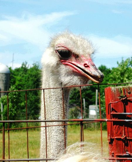 Trees Red Barn Fence Head In The Sand Bigbird Like A Caged Bird Ostrich