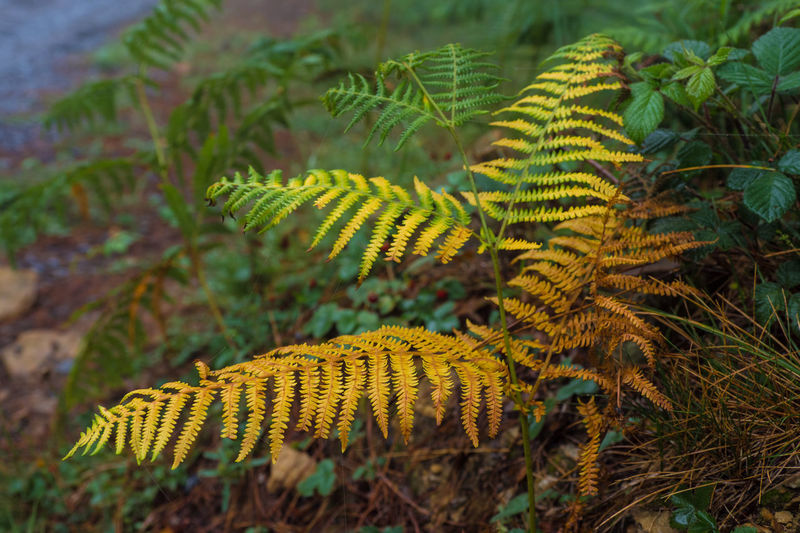 Close-up of yellow fern on field