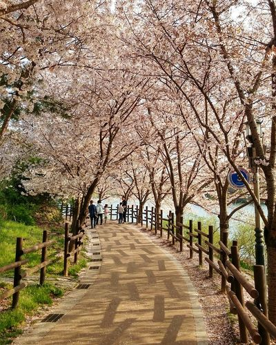 Cherry blossom The Way Forward Nature Tree Day Beauty In Nature Sky Outdoors Travel Destinations Korea HuaweiP9 Huawei P9 Photos 울산 선암호수공원 벚꽃 Cherry Blossoms Cherry Tree Daylight Flowers Cherry Blossom Leaf Road Lakeside Lake Spring Ulsan